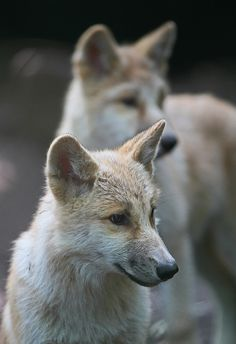 hudsonbay wolf artis IMG_0724 by j.a.kok on Flickr.