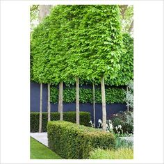 - Espaliered Carpinus betulus, Hornbeam and Taxus baccata, Yew hedges in The Daily Telegraph Garden, sponsored by The Daily Telegraph - Gold medal winner at RHS Chelsea Flower Show 2009 - GAP Photos - Specialising in horticultural photography