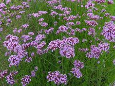 unjardinsostenible.com: Verbena bonariensis (Verbena púrpura) Begonia, Petunias, Dog Nursery, Stipa, Home Garden Plants, Tree Seeds, Colorful Plants, Family Garden, Recipes