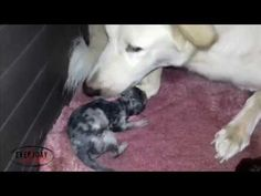 It's not Everyday You See a Dog Giving Birth to Cute Puppies https://www.youtube.com/watch?v=N6pGgXempag