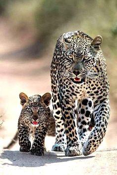 Super Baby Animals With Mom Big Cats Ideas Big Cats, Cats And Kittens, Cute Cats, Baby Kittens, Nature Animals, Animals And Pets, Wildlife Nature, Zoo Animals, Beautiful Cats