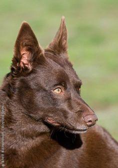 AUSTRALIAN KELPIE looks so much like my dog Shayna Weimaraner, Rhodesian Ridgeback, Australian Animals, Australian Cattle Dog, Thai Ridgeback, Purebred Dogs, Pharaoh Hound, Irish Terrier, Dog Breeds