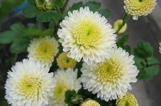 velkokvete chryzantemy - Hľadať Googlom Plants, Plant, Planets