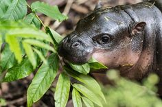 Lani, the first Pygmy hippo in 14 years for Basel Zoo in Switzerland, born March 18