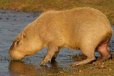 Watrush of Guyana, largest rodent in the world!