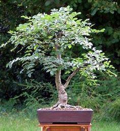 Principales especies utilizadas como bonsái