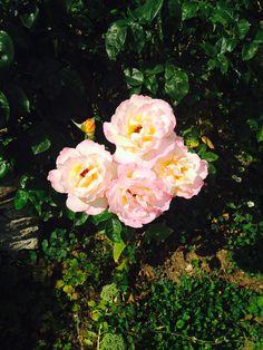 Bampton roses