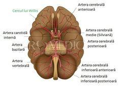 Vascularizatia cerebrala - poligonul lui Willis Anatomy, Neurology