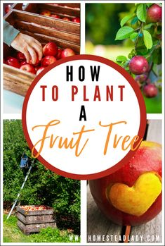 How to, Where to, Best time to Plant a Fruit Tree l Information on companion plants for fruit trees, beneficial insects and backyard permaculture orchards l Homesteadlady.com #permaculture #fruittrees #backyardorchard #homesteading #apples Autumn Garden, Summer Garden, Growing Herbs, Growing Vegetables, Natural Pesticides, Beneficial Insects, Garden Crafts, Garden Tips, Organic Gardening Tips