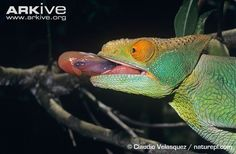 veiled chameleon tongue - Google Search