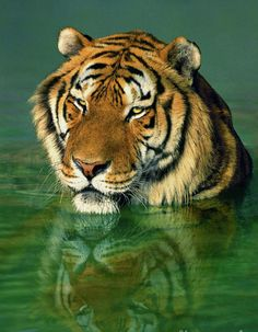 an adult male siberian tiger panthera tigris altaicia rests in a pond with a reflection of his face in the water below him at a wildlife rescue facility species is highly endangered in the wild Pretty Cats, Beautiful Cats, Animals Beautiful, Wildlife Photography, Animal Photography, Photography Guide, Outdoor Photography, Travel Photography, Big Cat Family