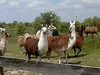 Overland in Fairfield, Iowa : Our beloved llamas!
