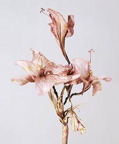 Holger Niehaus, Untitled, Just beautiful Belle Image Nature, Image Nature Fleurs, Ikebana, Amarillis, No Rain, Design Blog, Arte Floral, Botanical Art, Ideas