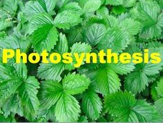 Photosynthesis Powerpoint with Teacher and Student Notes ($)