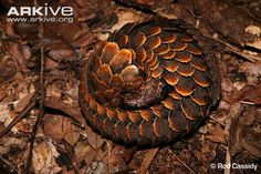 Black-bellied pangolin curled in a defensive ball