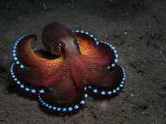 red carpet Octopus, blue glowing runway lines highlighting it's sunset red gown and underskirts to accentuate it's bold gliding movements. A real crowd stopper!