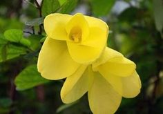 Bauhinia Tomentosa             flower           Yellow Tree Bauhinia                    Bosbeesklou           4 m      S A no 208,1