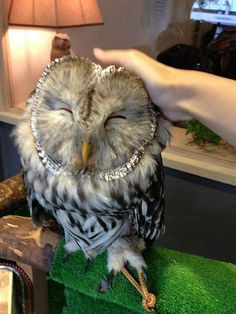Both sides just loving it! Awesome http://www.awesomelycute.com/2015/02/london-opens-a-bar-where-you-can-pet-owls/