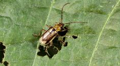 Gut Bacteria Allows Insect Pest to Foil Farmers -- Rapid adaptation to crop rotation