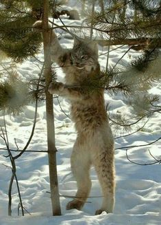 A Lynx mimmicking the Sasquatch he saw earlier. Animals And Pets, Funny Animals, Cute Animals, Wild Animals, Baby Animals, Lynx, Beautiful Cats, Animals Beautiful, Beautiful Pictures