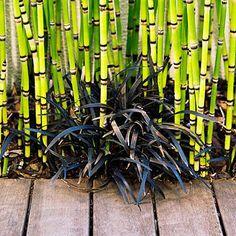 Down to Earth - equisetum and black mondo grass - Surprising Planting Pairings - Sunset Mobile Black Mondo Grass, Black Grass, Bamboo Garden, Garden Plants, Horticulture, Horsetail Reed, Landscape Design, Garden Design, Gothic Garden