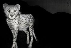 23 Best Asiatic cheetah images in 2016 | Asiatic cheetah
