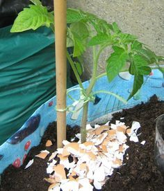 If you do not use your egg shells for plant starters, make sure to reuse them in the garden to ward off slugs and bugs and give nutrients to your plants!