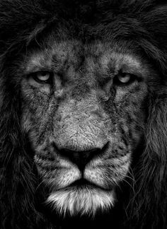 The lion (Panthera leo) is one of the four big cats in the genus Panthera and a member of the family Felidae. Lion And Lioness, Lion Of Judah, Fierce Lion, Nature Animals, Animals And Pets, Cute Animals, Wild Animals, Beautiful Cats, Animals Beautiful
