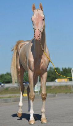Actualité poney cheval & équitation : Il parait que c'est le plus beau cheval du monde !!