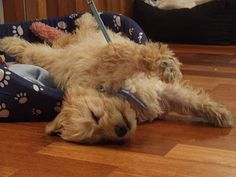 That's how my Cavoodle sleeps too!