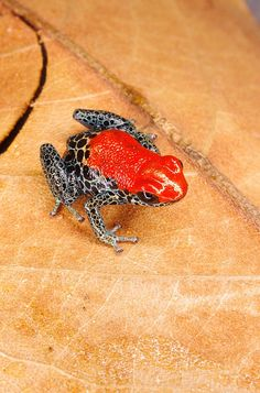 Red backed poison dart frog - Ranitomeya reticulata