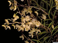 Dendrobium acuminatissimum | HOA PHONG LAN VIỆT-VIETNAM ORCHIRDS: Dendrobium (a)
