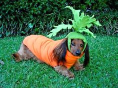 Carrot dachshund costume - Ok, this one makes me feel sorry for the poor pup. Still funny tho!