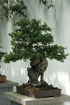 Great Trunk on this Bonsai