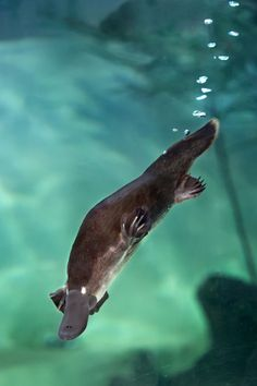 The Platypus, sometimes known as the duck-billed platypus, due to the duck-like bill on its face, is classed as part of the Ornithorhynchidae family, and is known as the genus or category; Baby Platypus, Duck Billed Platypus, Animals Of The World, Animals And Pets, Cute Animals, Reptiles, Mammals, Australia Animals, Underwater Creatures