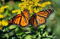 Monarchs & Wasps Photo by Sarah Staaf — National Geographic Your Shot