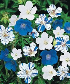 Deer-resistant with excellent ground cover, these profuse and long-blooming flowers offer low-maintenance beauty that suits almost any climate. Shipping note: See attached shipping zone map for shipping dates. Item ships immediately for zones with dates that have passed. Cannot ship to the following territories: AE, GU or PR.
