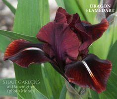Iris Dragon Flamedart MDB 2011 Moran, 18 cm, M-L