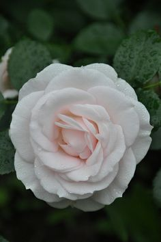 Rosa 'Aspirin Rose' (Germany, The perfect Rose in a cotton candy shade. Most Beautiful Flowers, Pretty Flowers, White Roses, Red Roses, Rose Foto, Ronsard Rose, Different Types Of Flowers, Rose Varieties, Coming Up Roses