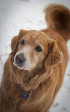 Willie, the golden retriever, loves to play in the snow!!! But maybe his favorite part is coming inside to towels warmed in the dryer to dry his fur. He loves to be enveloped and cuddled in warm towels!! Silly Golden!