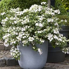 rabatt garten hydrangea garden care hortensia rabatt Runaway Bride r en helt ny hortensia som vann utmrkelsen Plant of the Year vid Chelsea Flower Show Planting Flowers, Plants, White Gardens, Hydrangea Garden, Flower Pots Outdoor, Dream Garden, Garden Inspiration, Chelsea Flower Show, Garden Care