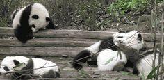 Panda Gang Fight GIF