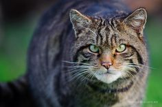 Scottish Wildcat, November 2009 | David Lloyd Wildlife Photography