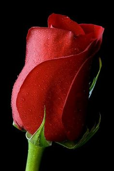 Beautiful Rose Flowers, All Flowers, Amazing Flowers, My Flower, Flower Power, Design Rosa, Ronsard Rose, Single Red Rose, Colorful Roses