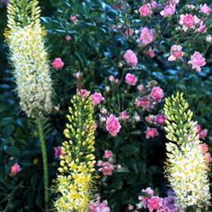 Eremurus - White Beauty - Foxtail Lily Bulbs for sale
