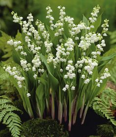 """An all-time favorite perennial. The sweet scent of Lily-of-the-Valley will fill the garden in early spring. Each stem produces as many as 25 blooms. Easy to grow in shady areas, but will also thrive in partial sun."""