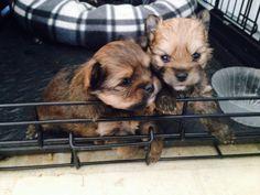 Bitzy's babies!!! 2 male Pomeranian Yorkie cross. 2 days shy of one month old!!!