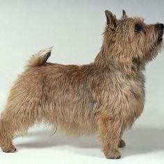 HANDSTRIPPING terriers - Google Search
