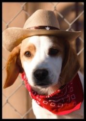 *Snoopy Puppy - Coming 11/18 is an adoptable Beagle Dog in Minneapolis, MN.       Can you spare a buck for a poor dog down on his luck? ...  ...