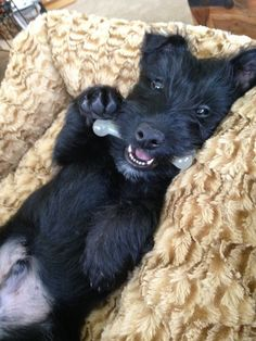 Calvin the Scottish Terrier 4 months